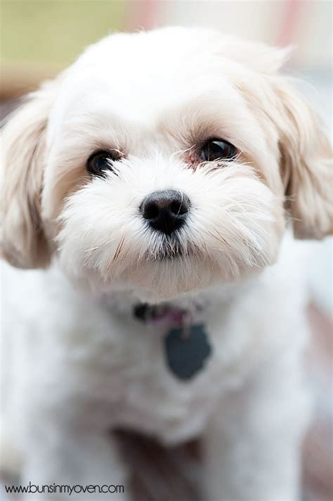 haircuts for shihchon dogs 16 best shih tzu hair cuts images on pinterest shih tzus
