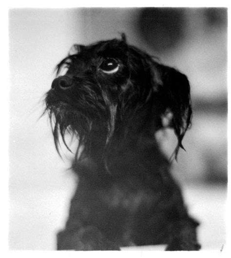 affenpinscher yorkie mix affenpinscher yorkie picture and images