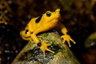 Golden Frog Tag Archives Panamanian Golden Frog