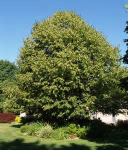serene scenery sunday our luscious linden tree bird