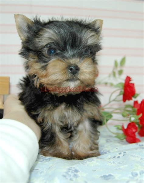 maltese yorkie teacup teacup maltese yorkie puppies breeds picture