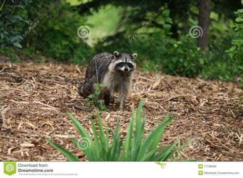 raccoons in backyard raccoon in yard royalty free stock images image 17736509