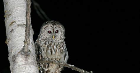 Penghapus Bentuk Burung Owl T1704001 serba serbi informasi ssi pendengaran burung hantu