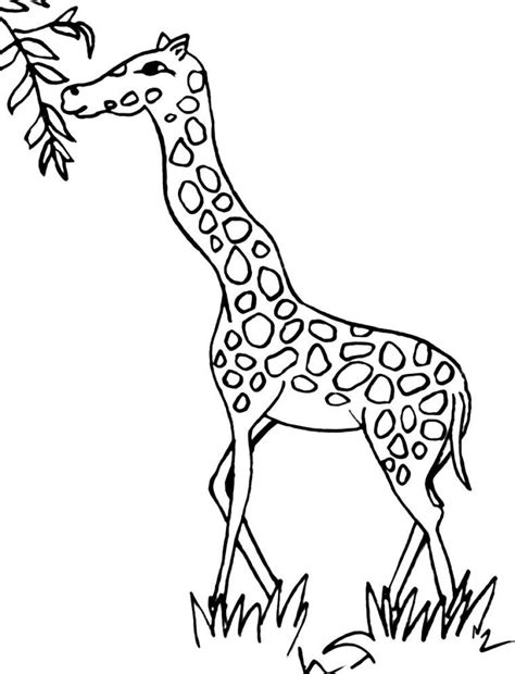 giraffe eating coloring pages free coloring pages of giraffe drawing