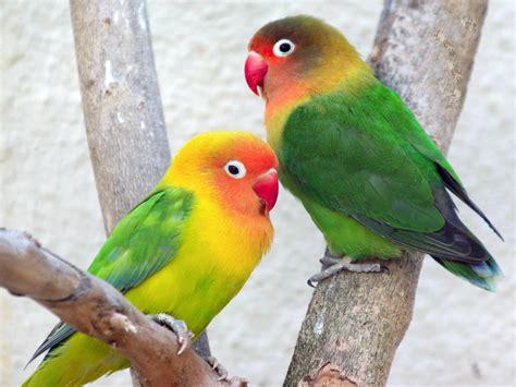 pappagallini inseparabili alimentazione agapornis fischeri inseparabile di fischer