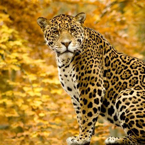 jaguar information jaguar panthera onca feline facts and information