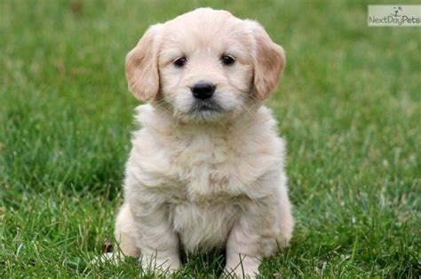 mini doodle puppies for sale uk the 25 best miniature labradoodle for sale ideas on