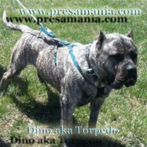 shih tzu puppies for sale in topeka kansas presa mania perro de presa canario breeder in topeka kansas