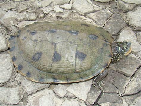 louisiana map turtle false map turtle trail of tears state park hibians