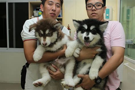 giant alaskan malamute on couch giant alaskan malamute quot puppies quot dogs other babies