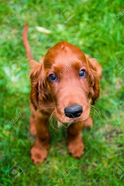 irish setter dog 65 most adorable and cute irish setter puppies pictures