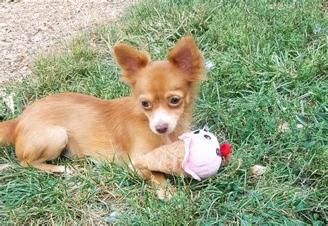 dogs for adoption in pa chihuahua coat for adoption elizabethtown pa petgeek