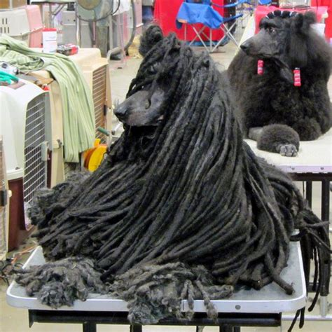 dogs with dreads dogs with dreads a survey of mop breeds