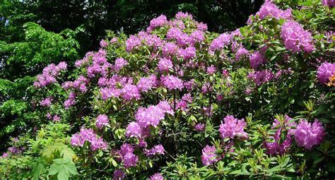 rhododendron schneiden wann und wie rhododendron schneiden ein ratgeber garden