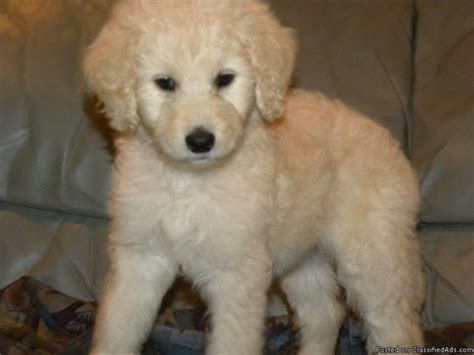 goldendoodle puppy price goldendoodle puppies available 1200 1500 breeds picture