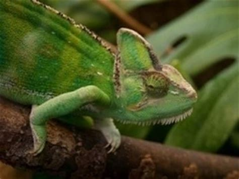 camaleonte in casa vendita camaleonte lucertole come acquistare un camaleonte