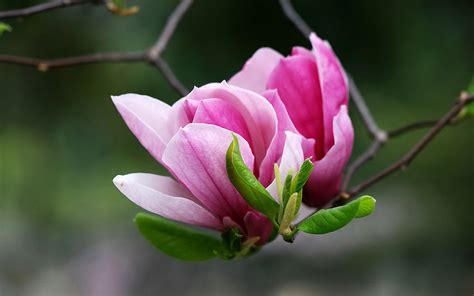 2560x1440 magnolia flowers bloom channel cover flower hd wallpaper and background 2560x1600 id