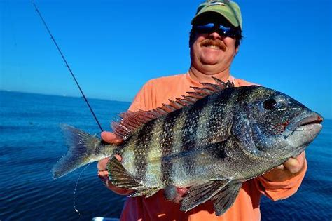 foto de fishing london charter and guide service sheepshead fishing off murrells inlet sc fotograf 237 a de