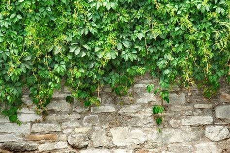 climbing wall plants buy stock photos of climbing plants colourbox