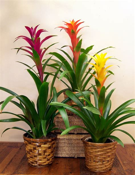 how to care for tropical house plants how to take care of your indoor bromeliads bromeliad