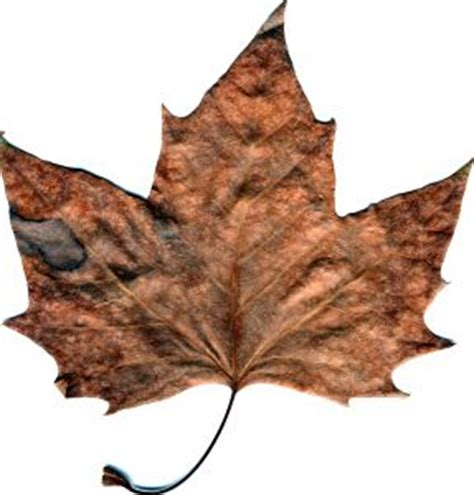 withered leaf stock photo freeimages