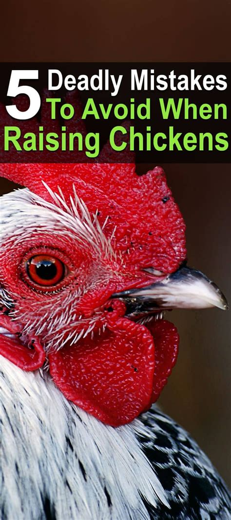 Backyard Chickens Lead Best 25 Raising Chickens Ideas Only On