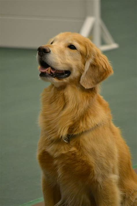 golden retriever club golden retriever club events dogs in our photo