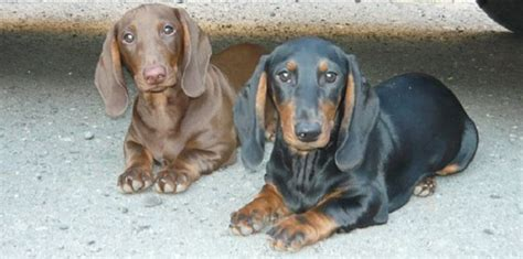 7 Facts On Dachshunds 7 cool facts about dachshunds