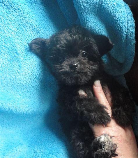 shih tzu x poodle puppies adorable shih tzu x poodle schoodle puppies orpington kent pets4homes