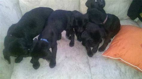 black lab puppies for sale in ohio black lab puppies for sale northeast ohio dogs for sale puppies for sale