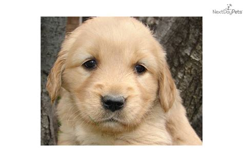 how much for a purebred golden retriever american 5 photo breeds picture