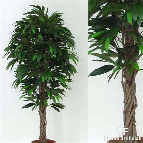 pianta di mango in vaso mango liana altezza cm 150 216 vaso cm 22 3f piante