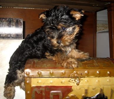 standard yorkie size standard size of terrier dogs in our photo