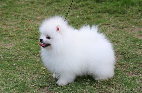 pug throwing up white foam puppy pomeranian white