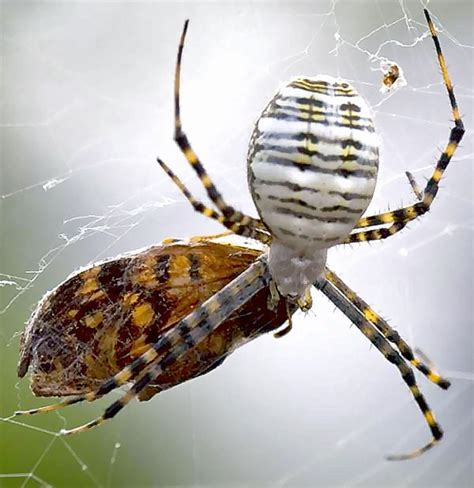 Garden Spider Striped Bugs In The News