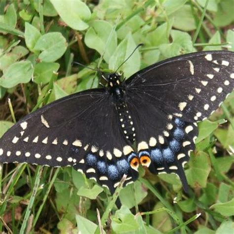 black swallowtail butterfly black swallowtail butterfly awesome and amazing pics