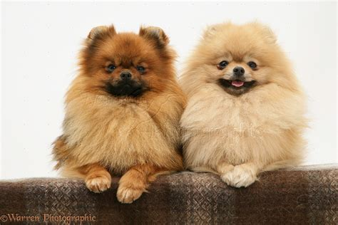 pomeranian paws dogs two pomeranians with paws photo wp11238