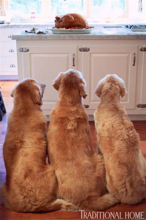 golden retrievers are the best dogs 12 reasons why golden retrievers are the best dogs pinsit