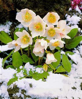 come curare le roselline in vaso come curare le piante natalizie