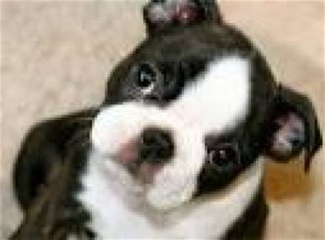 miniature boston terrier puppies for sale in ohio boston terrier for sale dogs puppies for sale with free breeds picture