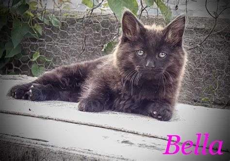 cats for sale plymouth maine coon x kittens plymouth pets4homes