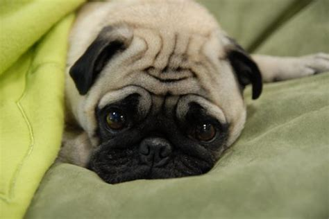 buying a pug want to buy a pug clickbd