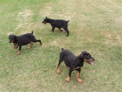 puppies for sale in clarksville tn pocahontas coalfield