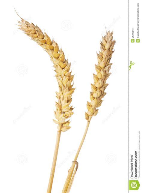 wheat ear stock photos image 26295613