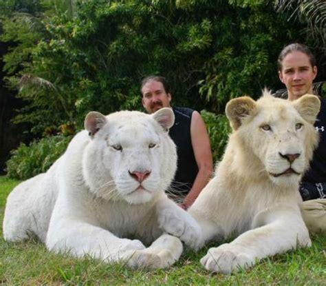 white ligers