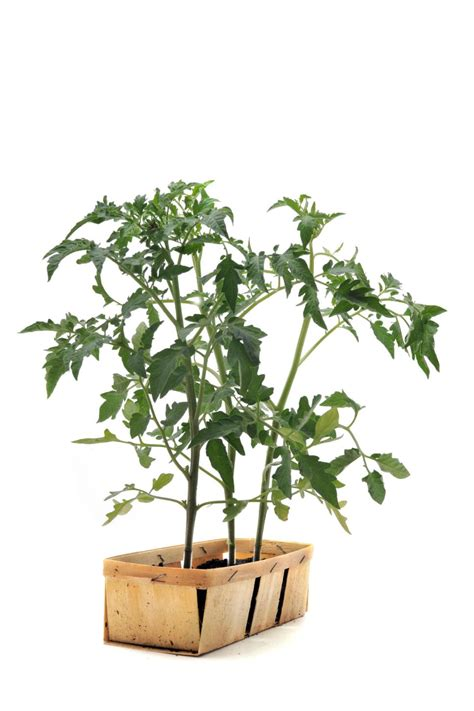 indoor tomato garden essential march gardening tasks hgtv