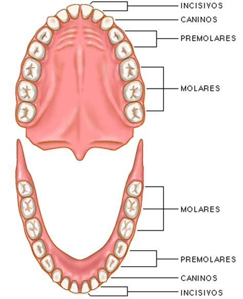imagenes dientes temporales alejandra barrios 528