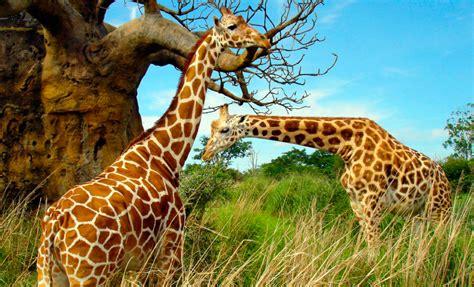 imagenes de jirafas salvajes jirafa caracter 237 sticas tipos qu 233 comen d 243 nde viven