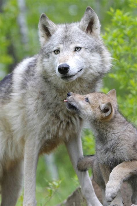 facts about coyote cubs apexwallpapers com 37 best images about coyotes on pinterest proud mom