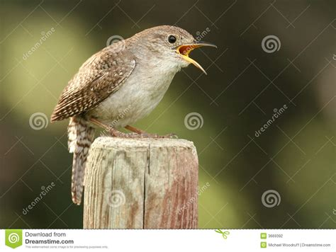 house wren song house wren stock photography image 3669392